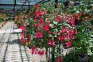 Výstava fuchsií a dalších květin.  1